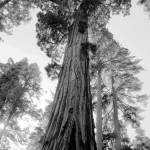 """Tall Trees in Black and White"" by DianeRoher"
