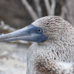"""Galapagos Blue-Footed Booby"" by placemarkphoto"