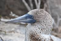 Galapagos Blue-Footed Booby