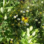 """Wild Daises and Black Eyed Susan"" by coribeth"