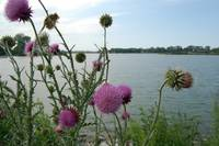 Purple Lake Thistle