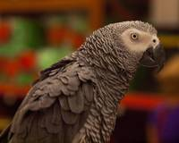 African Grey Parrot 2
