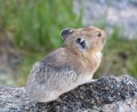 Pika, Mt Evans Colorado