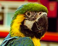 Sam the Macaw