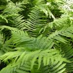 """A Sea of Ferns"" by PatriciaHeise"