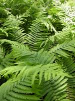 A Sea of Ferns