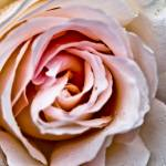 """Morning Dew on a Rose"" by SeansPhotos"