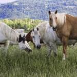 """Grand Teton Horses"" by NancyHarris"