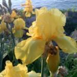 """Yellow Irises on the Lake"" by VikingMtnArt"