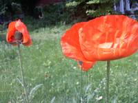 Poppies at Lakeside
