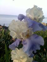 Purple Iris on Lake