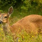 """""""Black Tailed deer"""" by tagauthier"""