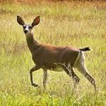 """""""Deer"""" by zygzee"""