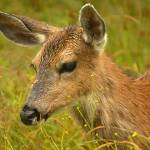 """""""Black tailed deer  portrait"""" by tagauthier"""