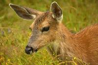 Black tailed deer  portrait