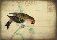 Purple Finch Postcard