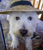 On A Hot Summer Day - West Highland White Terrier