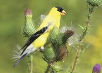 American Goldfinch Photograph