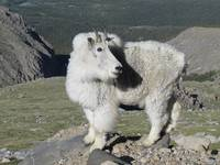 Mountain Goat, Mt Evans Colorado