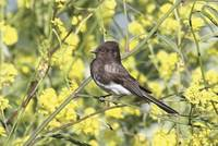 Black Phoebe Photograph