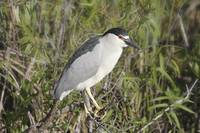 Black-Crowned Night-Heron Photograph