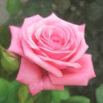 """""""Pink Roses in Anzures 4 Painterly"""" by ChristopherInMexico"""