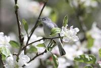 Blue-Gray Gnatcatcher Photograph