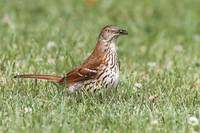 Brown Thrasher Photograph