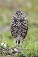 Burrowing Owl Photograph