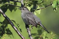 Gray Catbird Photograph