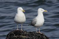 Herring Gull Photograph