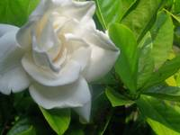 Gardenia in the Shadows