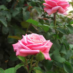 """""""Pink Roses in Anzures 5"""" by ChristopherInMexico"""