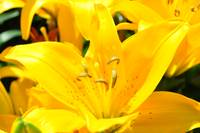 Yellow Lily (2)