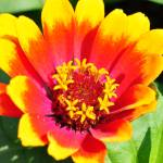 """Vibrant Yellow Red Orange Pink flower"" by ElliePhotoArt"