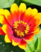 Vibrant Yellow Red Orange Pink flower