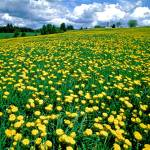 """Dandelions at Bragg Farm"" by timseaver"