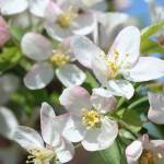 """White Fruit Blossoms Spring"" by ElliePhotoArt"