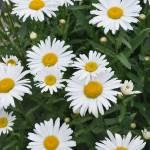 """White Daisies"" by ElliePhotoArt"