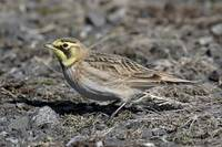 Horned Lark Photograph