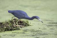 Little Blue Heron Photograph