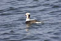Long-Tailed Duck Photograph