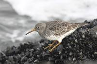 Purple Sandpiper Photograph