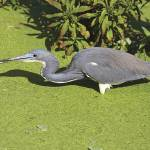 """Tricolored Heron Photograph"" by ArtLoversOnline"