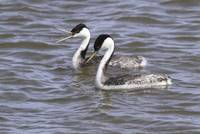 Western Grebe Photograph