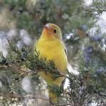 """Western Tanager Photograph"" by ArtLoversOnline"