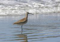 Whimbrel Photograph