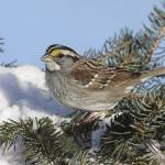 """White-Throated Sparrow Photograph"" by ArtLoversOnline"