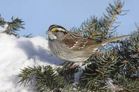 White-Throated Sparrow Photograph