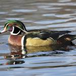 """Wood Duck Photograph"" by ArtLoversOnline"